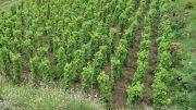 szőlőültetvény