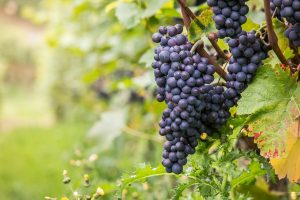Pinot Noir és kultúra