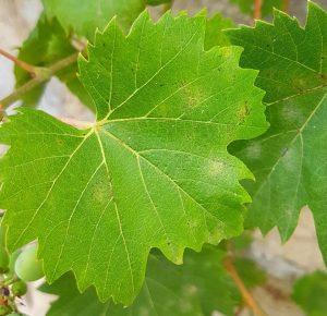 A szőlő egyik fontos betegsége, a szőlőperonoszpóra